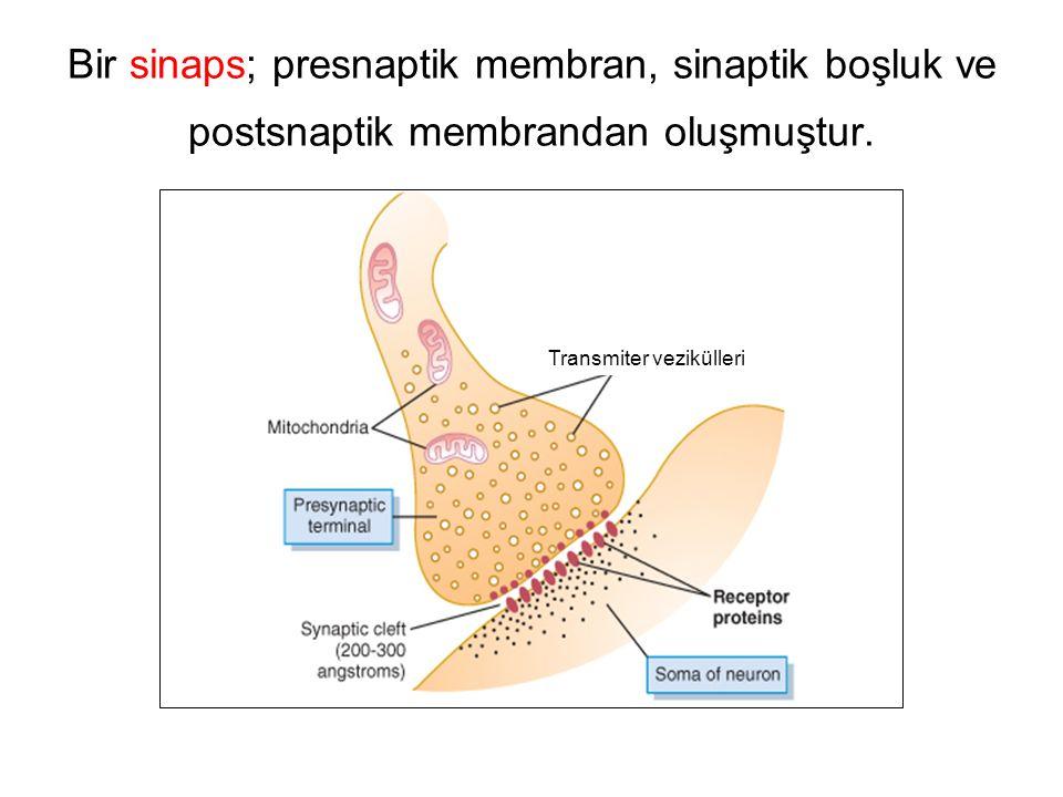 Bir sinaps; presnaptik membran, sinaptik boşluk ve postsnaptik membrandan oluşmuştur.