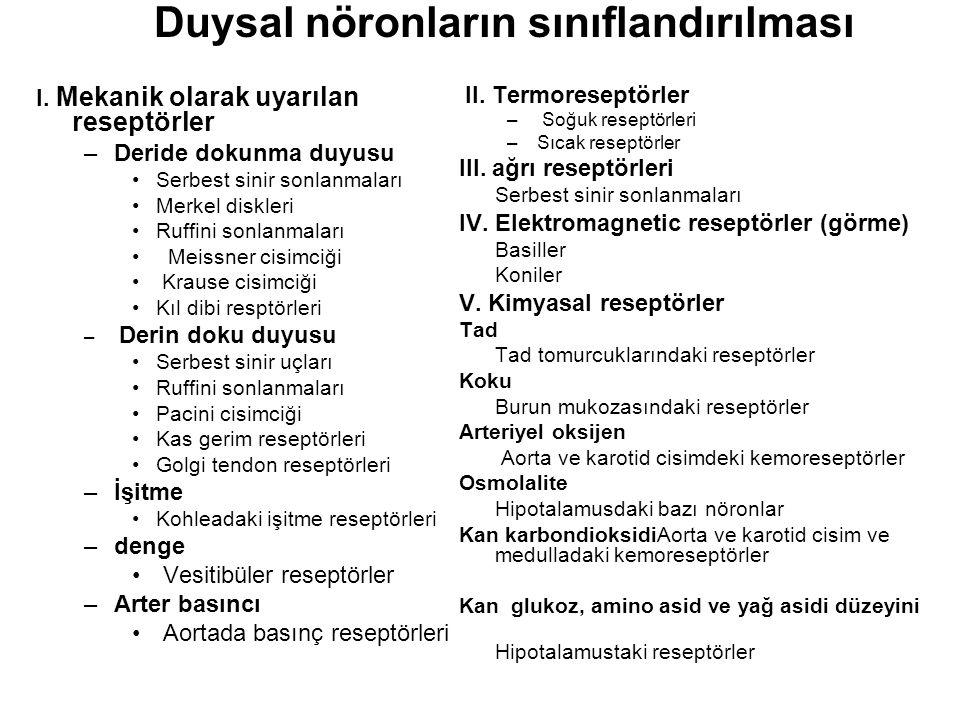 Duysal nöronların sınıflandırılması I.