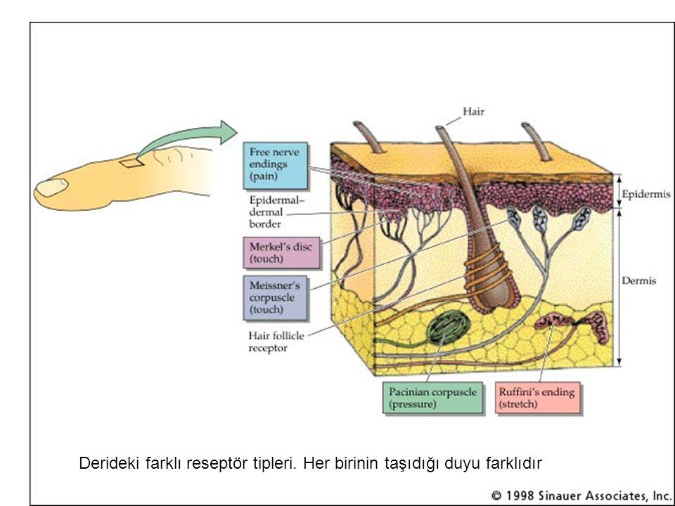 Derideki farklı reseptör tipleri. Her birinin taşıdığı duyu farklıdır