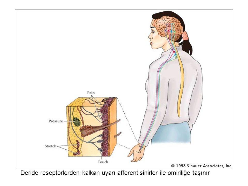 Deride reseptörlerden kalkan uyarı afferent sinirler ile omiriliğe taşınır