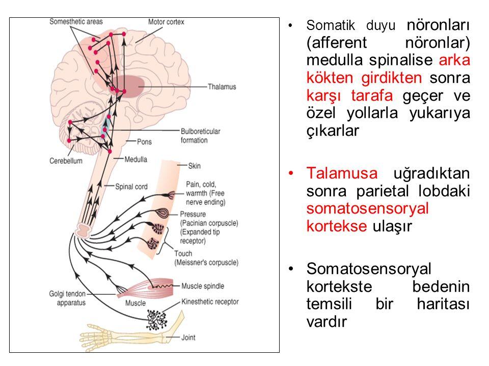 Somatik duyu nöronları (afferent nöronlar) medulla spinalise arka kökten girdikten sonra karşı tarafa geçer ve özel yollarla yukarıya çıkarlar Talamusa uğradıktan sonra parietal lobdaki somatosensoryal kortekse ulaşır Somatosensoryal kortekste bedenin temsili bir haritası vardır