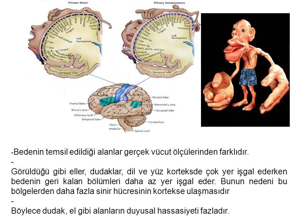 - Bedenin temsil edildiği alanlar gerçek vücut ölçülerinden farklıdır.