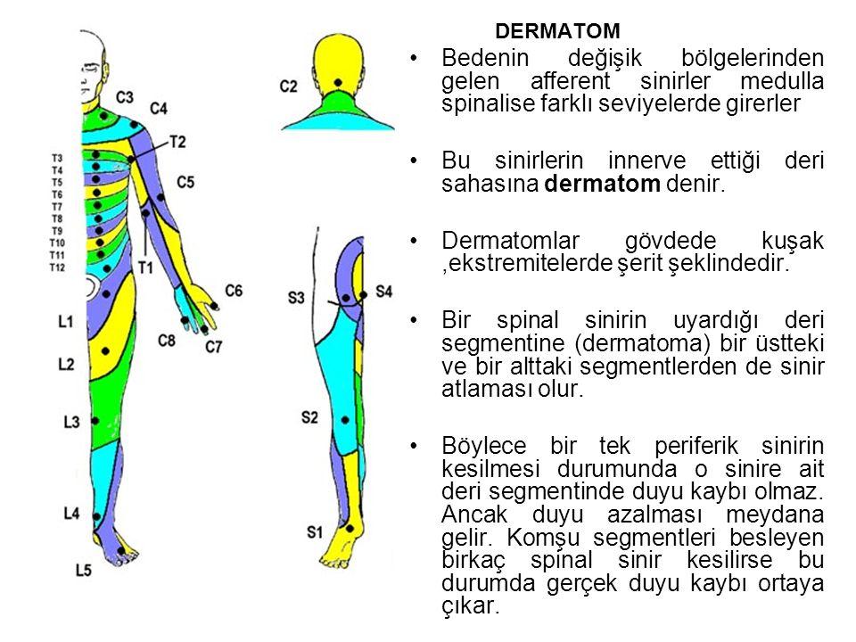 DERMATOM Bedenin değişik bölgelerinden gelen afferent sinirler medulla spinalise farklı seviyelerde girerler Bu sinirlerin innerve ettiği deri sahasına dermatom denir.