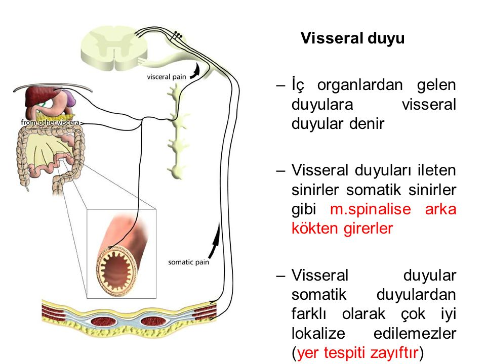 Visseral duyu –İç organlardan gelen duyulara visseral duyular denir –Visseral duyuları ileten sinirler somatik sinirler gibi m.spinalise arka kökten girerler –Visseral duyular somatik duyulardan farklı olarak çok iyi lokalize edilemezler (yer tespiti zayıftır)