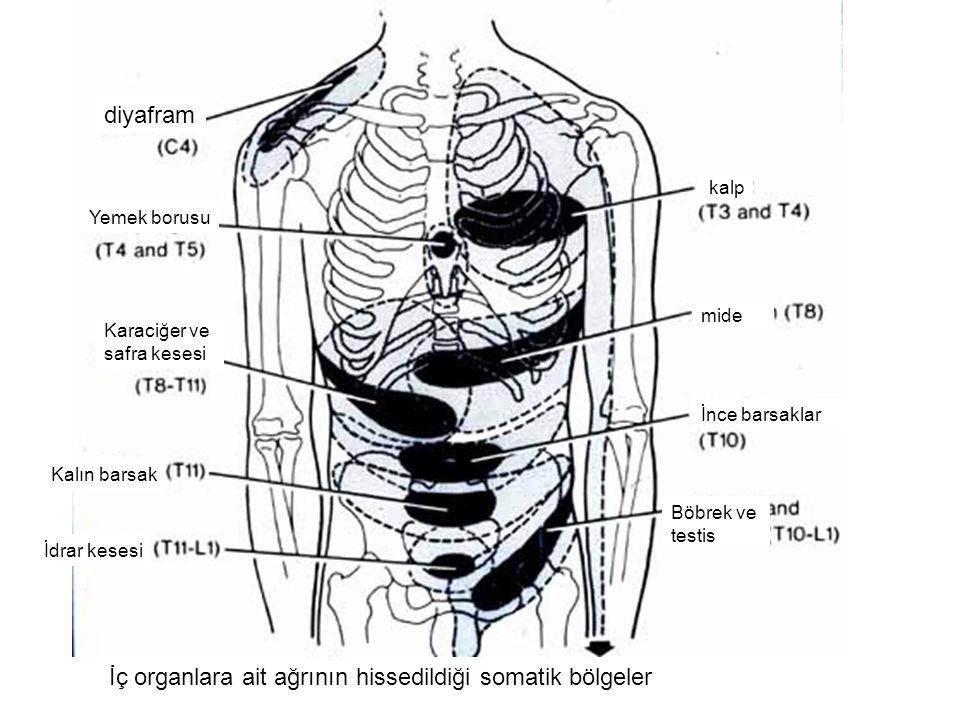 Karaciğer ve safra kesesi Yemek borusu diyafram Kalın barsak İdrar kesesi kalp mide İnce barsaklar Böbrek ve testis İç organlara ait ağrının hissedildiği somatik bölgeler