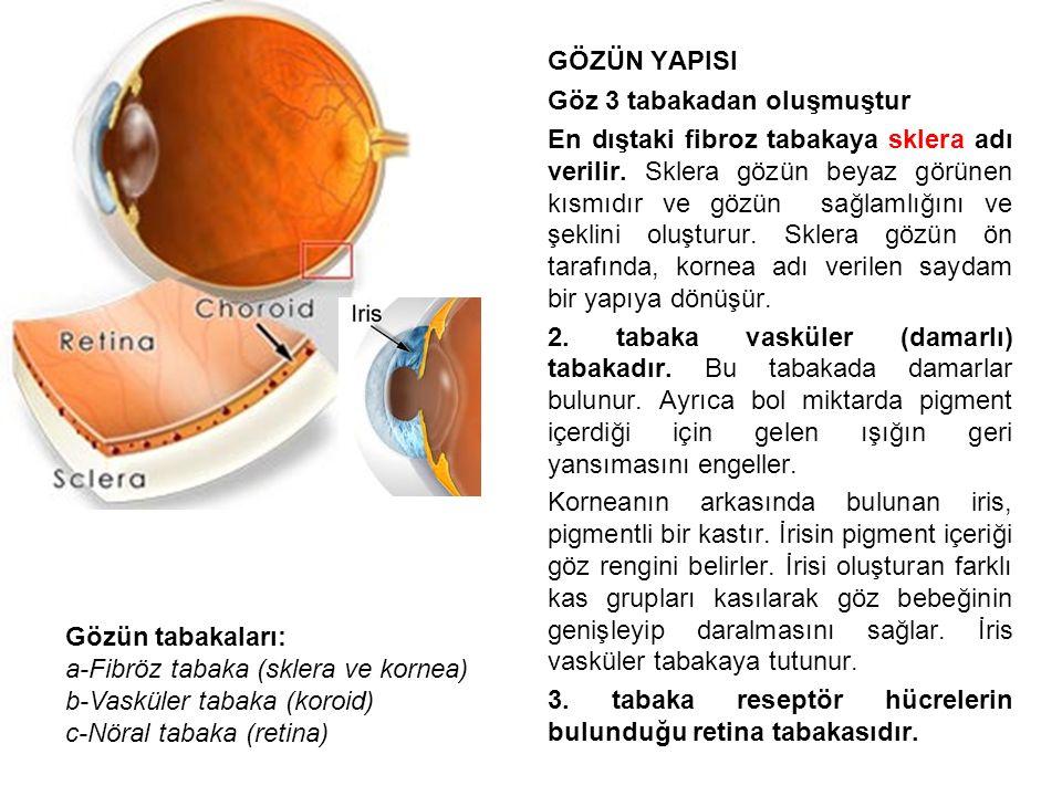 GÖZÜN YAPISI Göz 3 tabakadan oluşmuştur En dıştaki fibroz tabakaya sklera adı verilir.