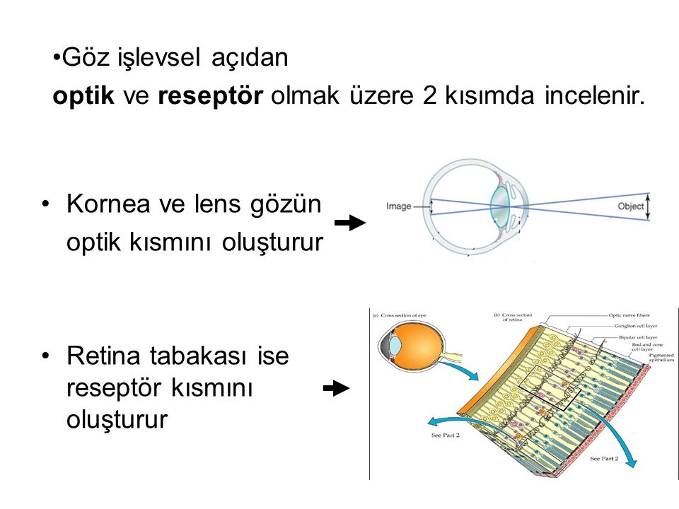 Kornea ve lens gözün optik kısmını oluşturur Retina tabakası ise reseptör kısmını oluşturur Göz işlevsel açıdan optik ve reseptör olmak üzere 2 kısımda incelenir.