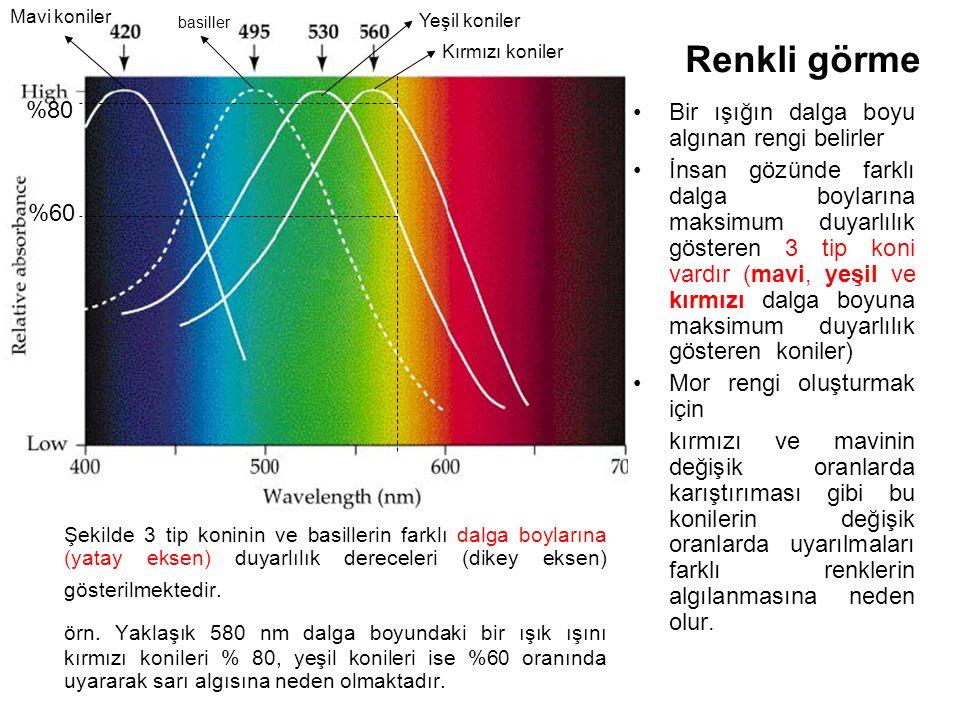 Renkli görme Şekilde 3 tip koninin ve basillerin farklı dalga boylarına (yatay eksen) duyarlılık dereceleri (dikey eksen) gösterilmektedir.