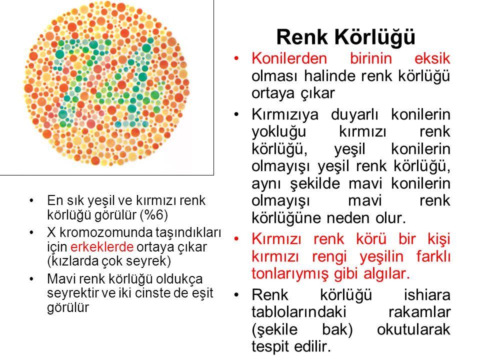 Renk Körlüğü Konilerden birinin eksik olması halinde renk körlüğü ortaya çıkar Kırmızıya duyarlı konilerin yokluğu kırmızı renk körlüğü, yeşil konilerin olmayışı yeşil renk körlüğü, aynı şekilde mavi konilerin olmayışı mavi renk körlüğüne neden olur.