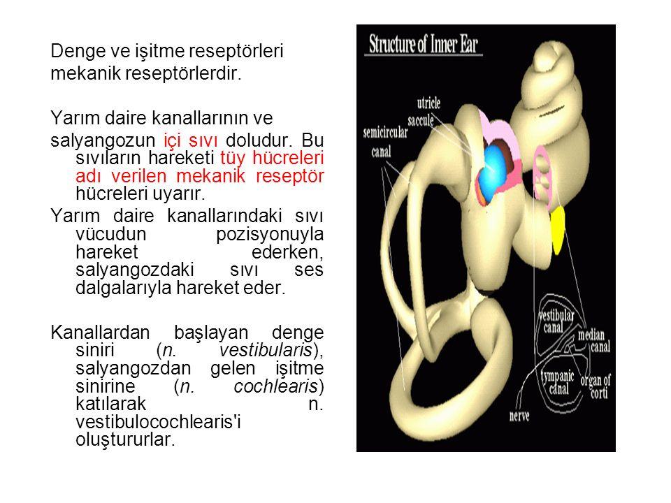 Denge ve işitme reseptörleri mekanik reseptörlerdir.