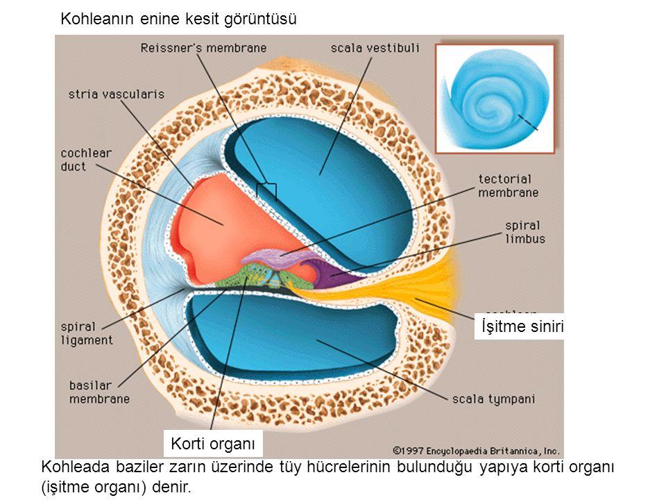Korti organı İşitme siniri Kohleada baziler zarın üzerinde tüy hücrelerinin bulunduğu yapıya korti organı (işitme organı) denir.