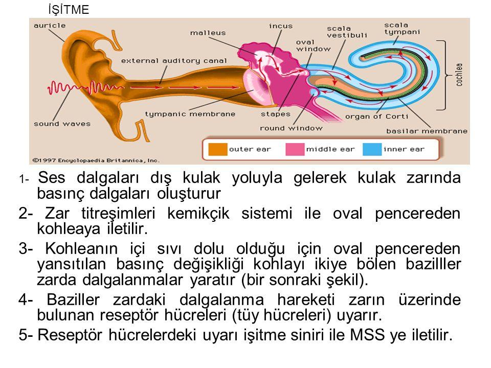 1- Ses dalgaları dış kulak yoluyla gelerek kulak zarında basınç dalgaları oluşturur 2- Zar titreşimleri kemikçik sistemi ile oval pencereden kohleaya iletilir.