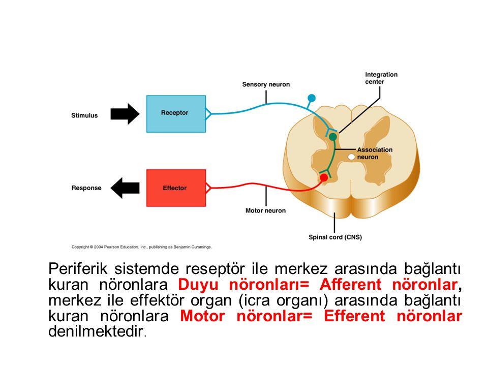 Periferik sistemde reseptör ile merkez arasında bağlantı kuran nöronlara Duyu nöronları= Afferent nöronlar, merkez ile effektör organ (icra organı) arasında bağlantı kuran nöronlara Motor nöronlar= Efferent nöronlar denilmektedir.