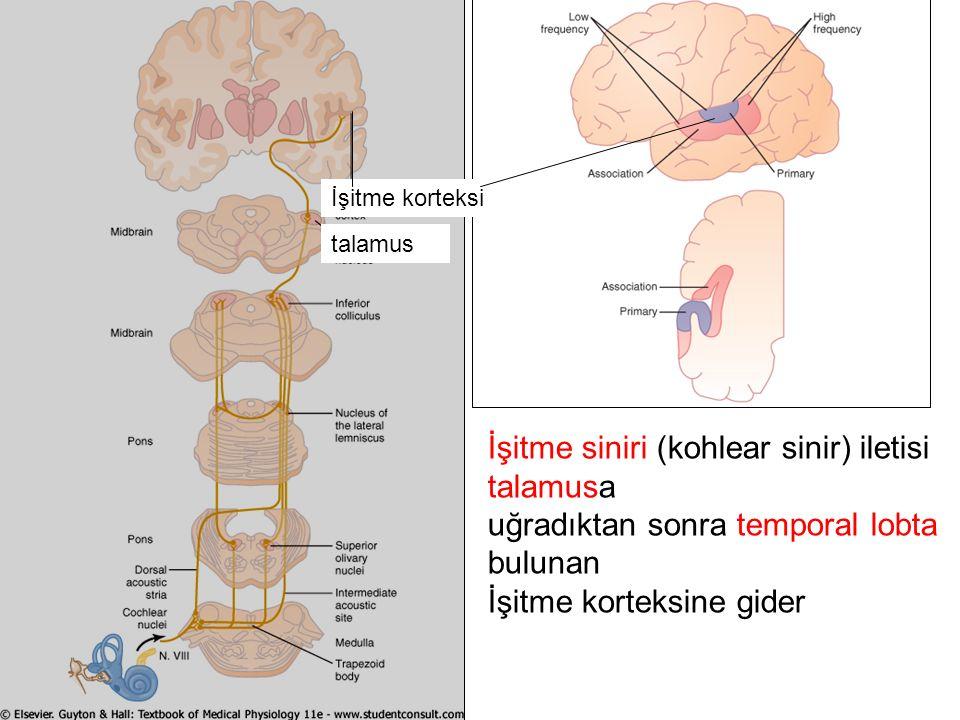 talamus İşitme korteksi İşitme siniri (kohlear sinir) iletisi talamusa uğradıktan sonra temporal lobta bulunan İşitme korteksine gider