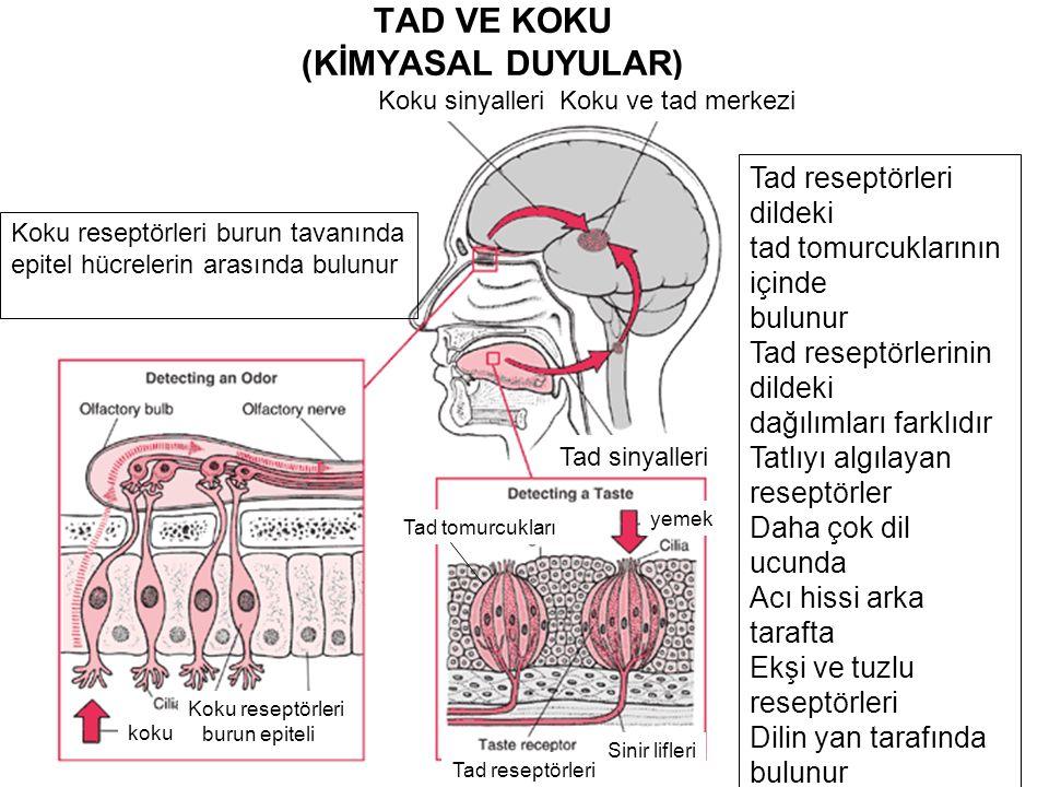 TAD VE KOKU (KİMYASAL DUYULAR) Tad sinyalleri Koku ve tad merkeziKoku sinyalleri koku burun epiteli Koku reseptörleri Tad reseptörleri Sinir lifleri yemek Tad tomurcukları Koku reseptörleri burun tavanında epitel hücrelerin arasında bulunur Tad reseptörleri dildeki tad tomurcuklarının içinde bulunur Tad reseptörlerinin dildeki dağılımları farklıdır Tatlıyı algılayan reseptörler Daha çok dil ucunda Acı hissi arka tarafta Ekşi ve tuzlu reseptörleri Dilin yan tarafında bulunur