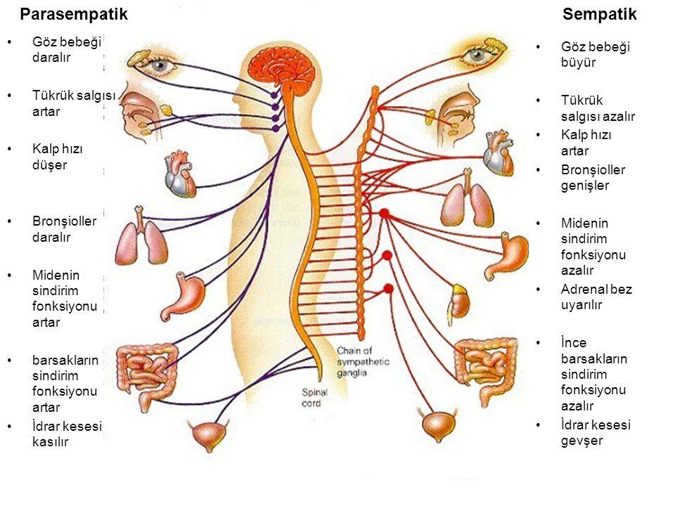 Göz bebeği büyür Tükrük salgısı azalır Kalp hızı artar Bronşioller genişler Midenin sindirim fonksiyonu azalır Adrenal bez uyarılır İnce barsakların sindirim fonksiyonu azalır İdrar kesesi gevşer Göz bebeği daralır Tükrük salgısı artar Kalp hızı düşer Bronşioller daralır Midenin sindirim fonksiyonu artar barsakların sindirim fonksiyonu artar İdrar kesesi kasılır ParasempatikSempatik