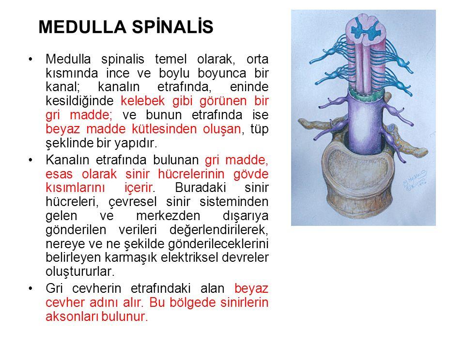 MEDULLA SPİNALİS Medulla spinalis temel olarak, orta kısmında ince ve boylu boyunca bir kanal; kanalın etrafında, eninde kesildiğinde kelebek gibi görünen bir gri madde; ve bunun etrafında ise beyaz madde kütlesinden oluşan, tüp şeklinde bir yapıdır.