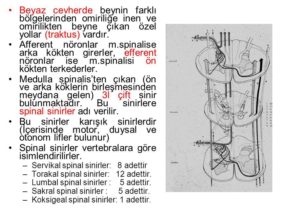 Beyaz cevherde beynin farklı bölgelerinden omiriliğe inen ve omirilikten beyne çıkan özel yollar (traktus) vardır.