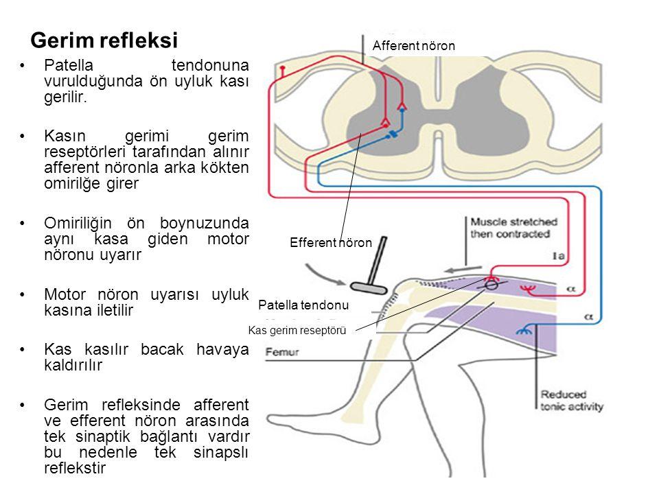 Gerim refleksi Patella tendonuna vurulduğunda ön uyluk kası gerilir.