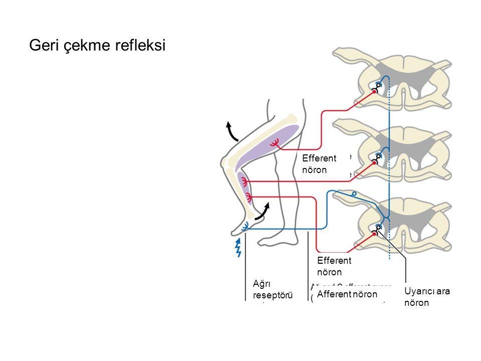 Geri çekme refleksi Ağrı reseptörü Afferent nöron Efferent nöron Uyarıcı ara nöron