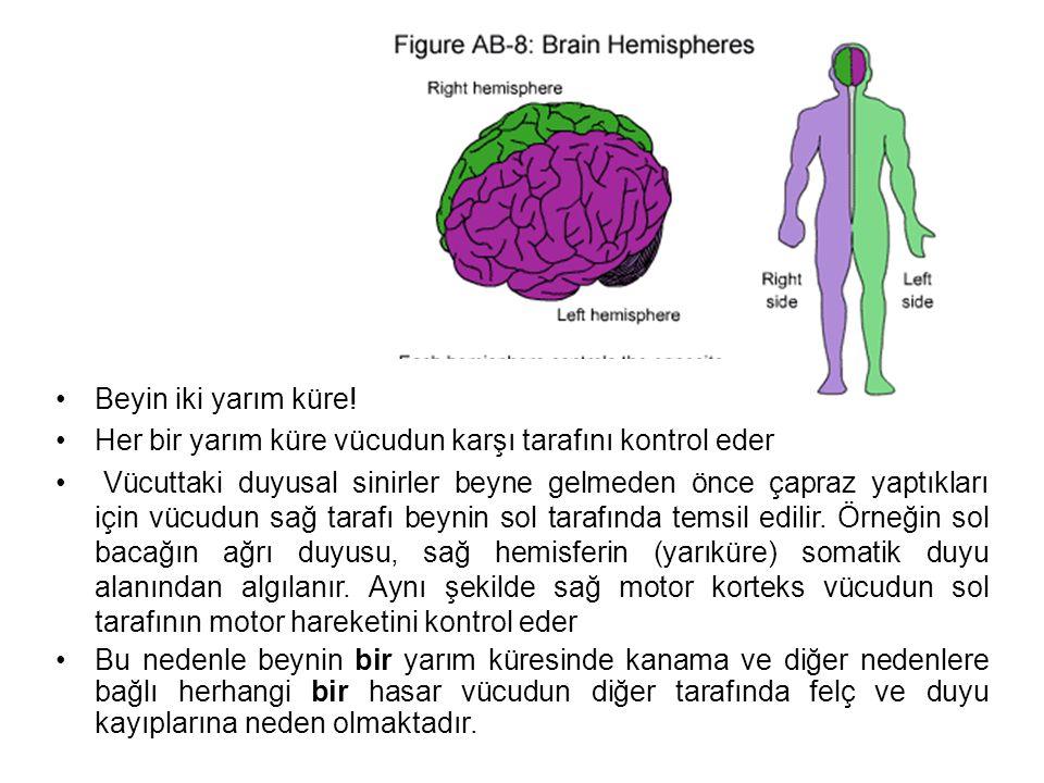 Beyin iki yarım küre.