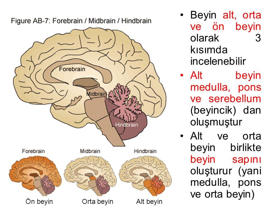 Alt beyinOrta beyinÖn beyin Beyin alt, orta ve ön beyin olarak 3 kısımda incelenebilir Alt beyin medulla, pons ve serebellum (beyincik) dan oluşmuştur Alt ve orta beyin birlikte beyin sapını oluşturur (yani medulla, pons ve orta beyin)