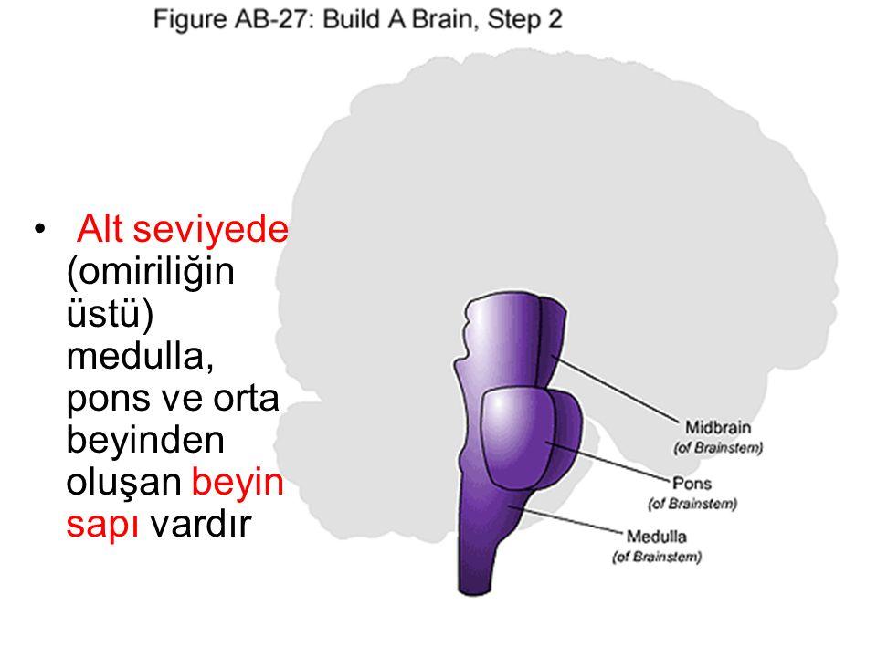 Alt seviyede (omiriliğin üstü) medulla, pons ve orta beyinden oluşan beyin sapı vardır