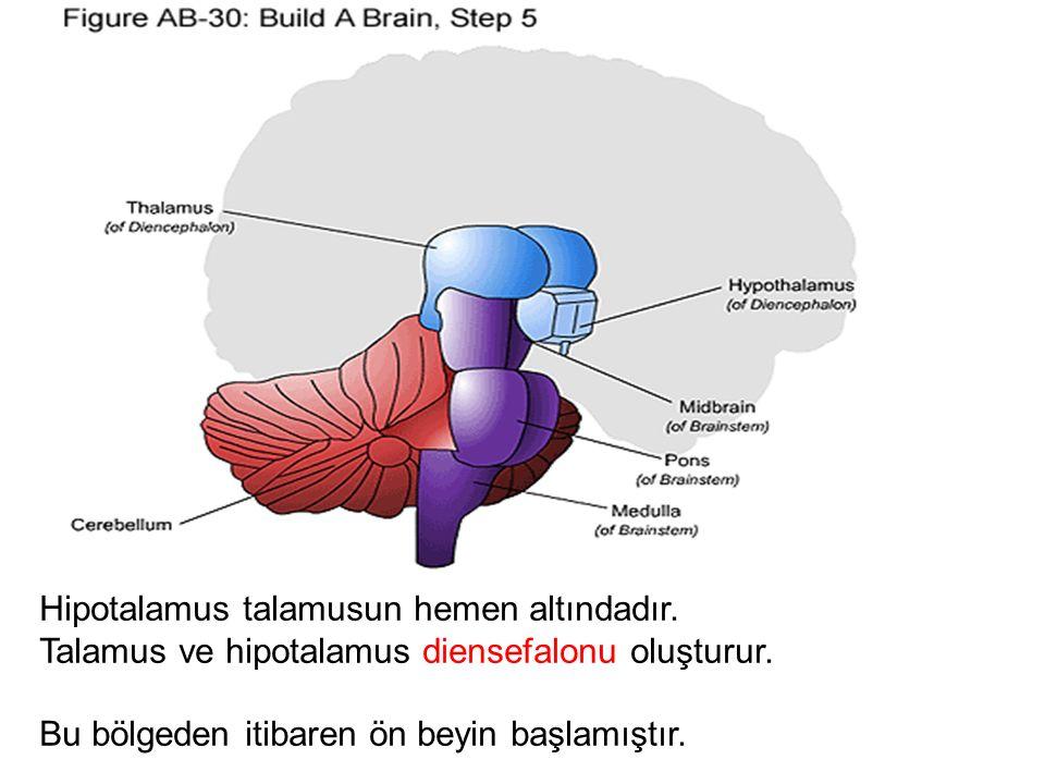 Hipotalamus talamusun hemen altındadır.Talamus ve hipotalamus diensefalonu oluşturur.