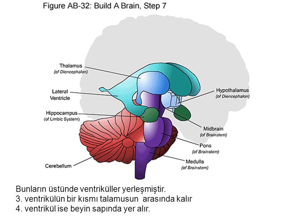 Bunların üstünde ventriküller yerleşmiştir.3. ventrikülün bir kısmı talamusun arasında kalır 4.