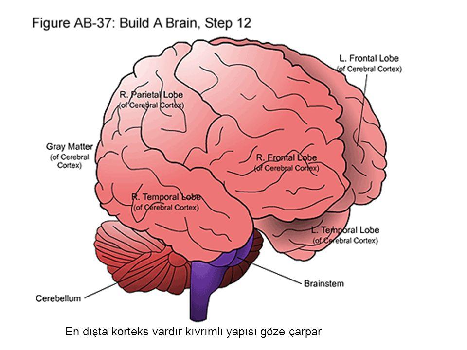 En dışta korteks vardır kıvrımlı yapısı göze çarpar