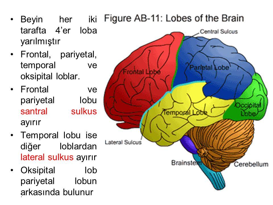 Beyin her iki tarafta 4'er loba yarılmıştır Frontal, pariyetal, temporal ve oksipital loblar.