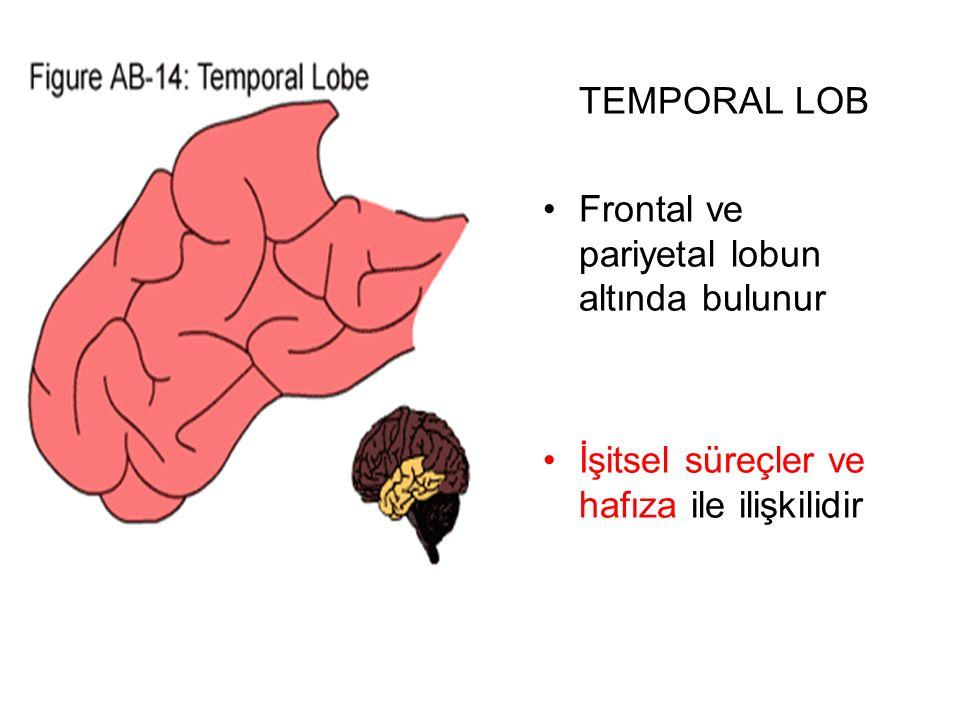 TEMPORAL LOB Frontal ve pariyetal lobun altında bulunur İşitsel süreçler ve hafıza ile ilişkilidir