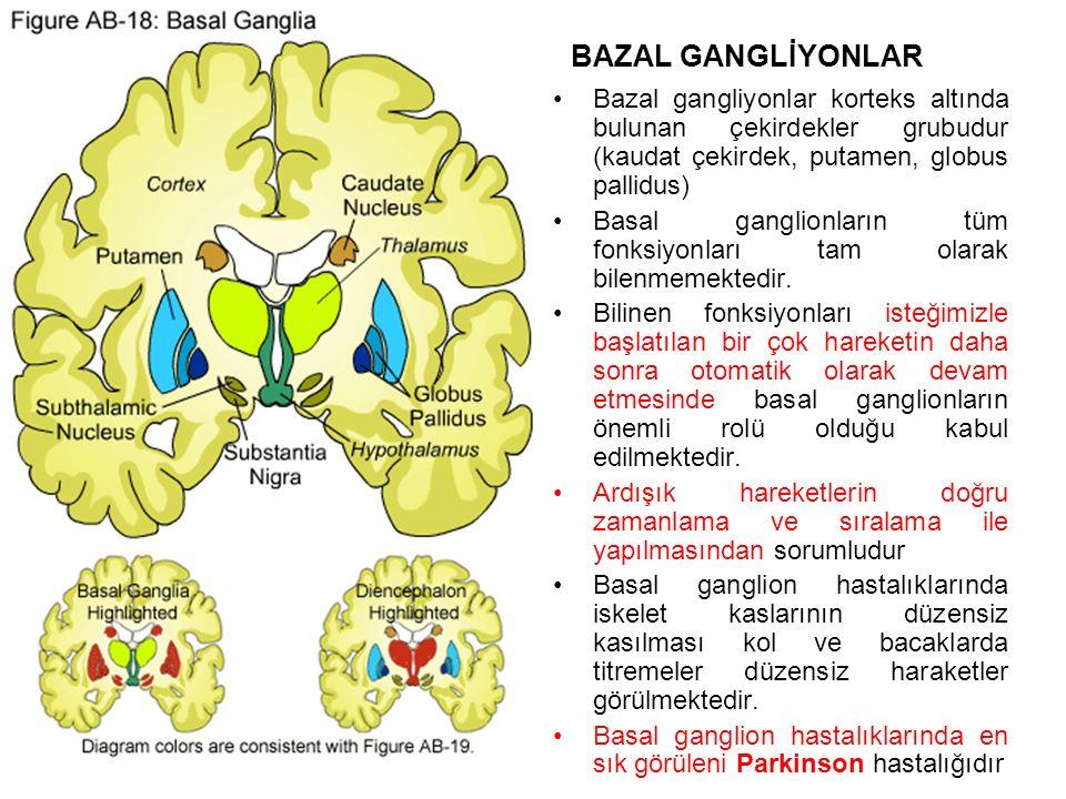 BAZAL GANGLİYONLAR Bazal gangliyonlar korteks altında bulunan çekirdekler grubudur (kaudat çekirdek, putamen, globus pallidus) Basal ganglionların tüm fonksiyonları tam olarak bilenmemektedir.
