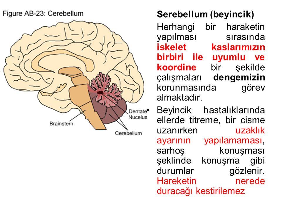 Serebellum (beyincik) Herhangi bir haraketin yapılması sırasında iskelet kaslarımızın birbiri ile uyumlu ve koordine bir şekilde çalışmaları dengemizin korunmasında görev almaktadır.