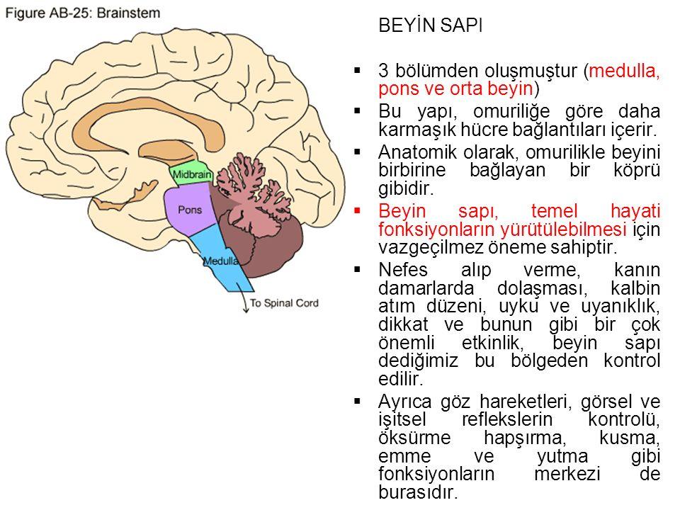 BEYİN SAPI  3 bölümden oluşmuştur (medulla, pons ve orta beyin)  Bu yapı, omuriliğe göre daha karmaşık hücre bağlantıları içerir.
