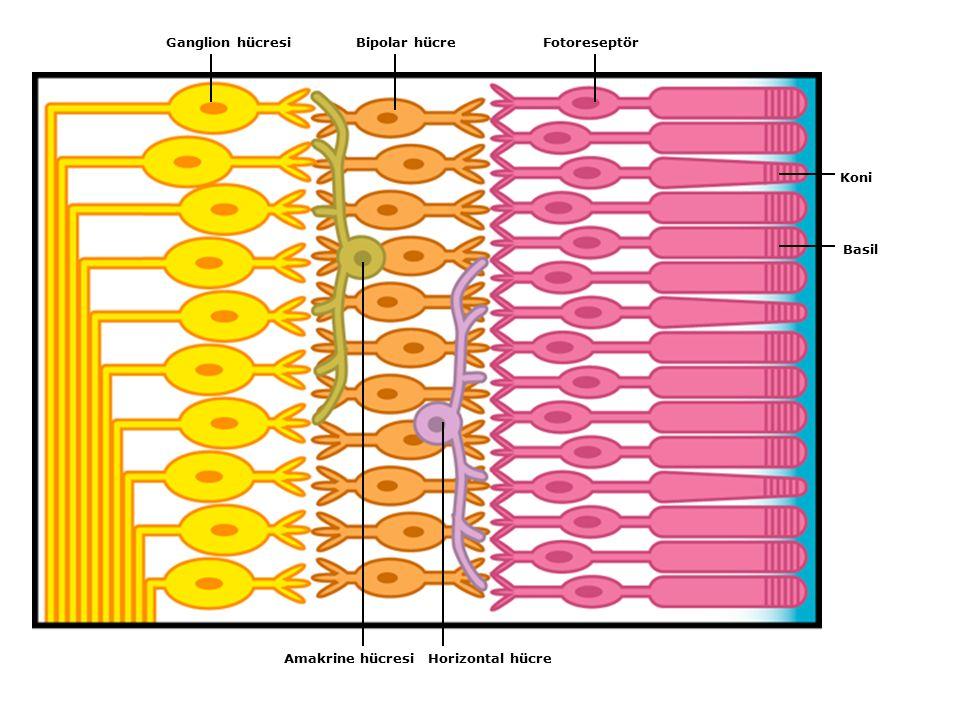 FotoreseptörBipolar hücreGanglion hücresi Amakrine hücresiHorizontal hücre Koni Basil