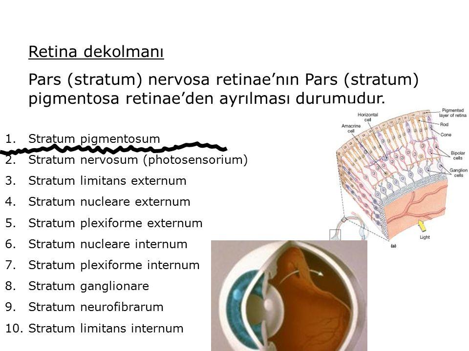 Retina dekolmanı Pars (stratum) nervosa retinae'nın Pars (stratum) pigmentosa retinae'den ayrılması durumudur. 1.Stratum pigmentosum 2.Stratum nervosu