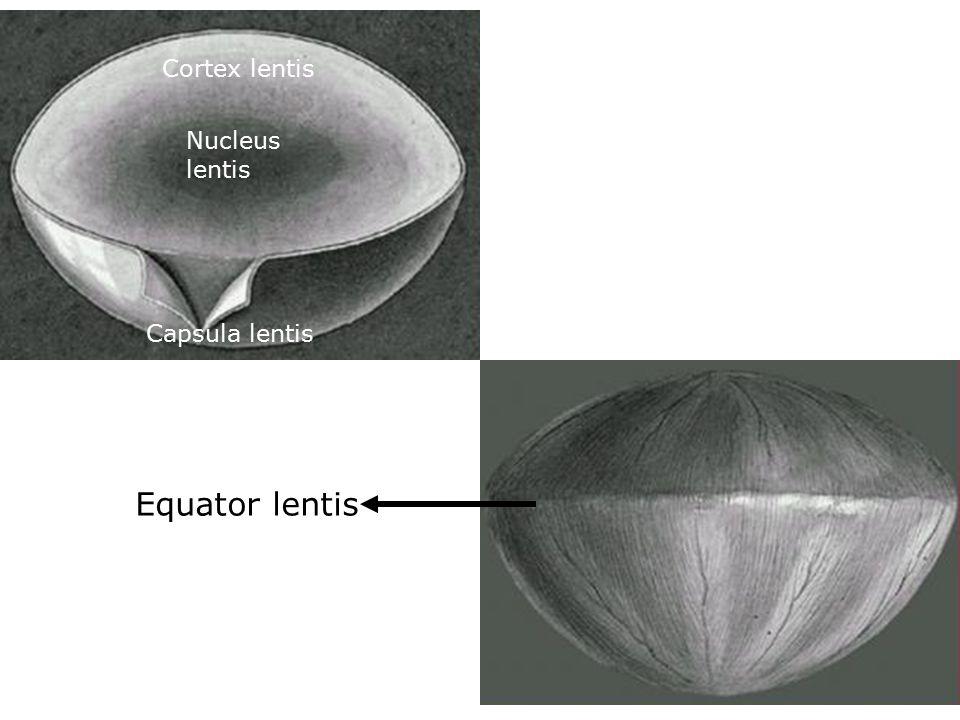Cortex lentis Nucleus lentis Capsula lentis Equator lentis