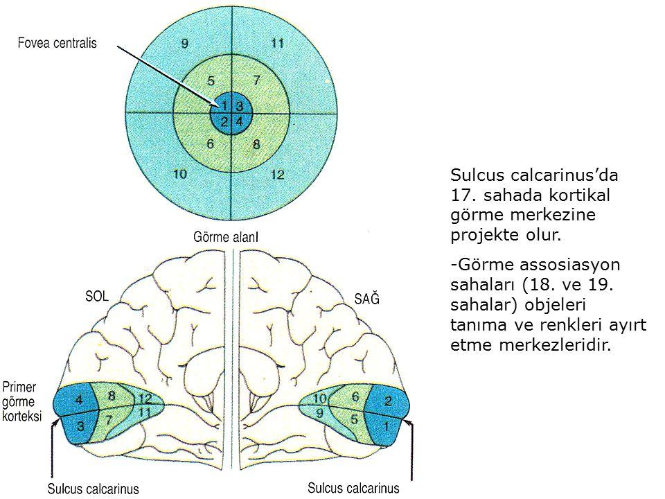 Sulcus calcarinus'da 17. sahada kortikal görme merkezine projekte olur. -Görme assosiasyon sahaları (18. ve 19. sahalar) objeleri tanıma ve renkleri a