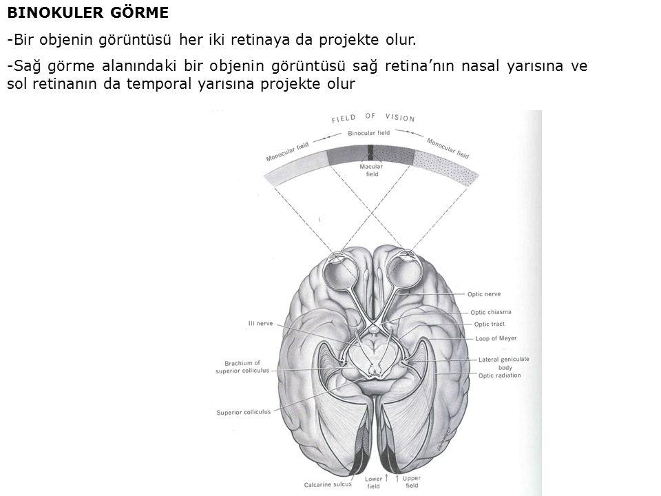 BINOKULER GÖRME -Bir objenin görüntüsü her iki retinaya da projekte olur. -Sağ görme alanındaki bir objenin görüntüsü sağ retina'nın nasal yarısına ve