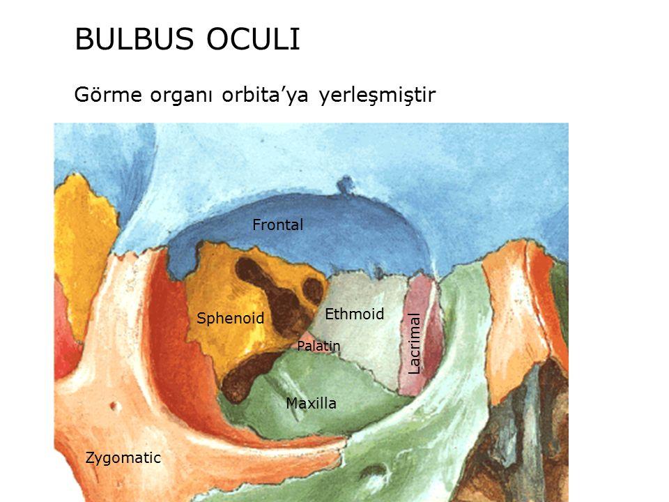 BULBUS OCULI Görme organı orbita'ya yerleşmiştir Zygomatic Sphenoid Ethmoid Frontal Lacrimal Maxilla Palatin