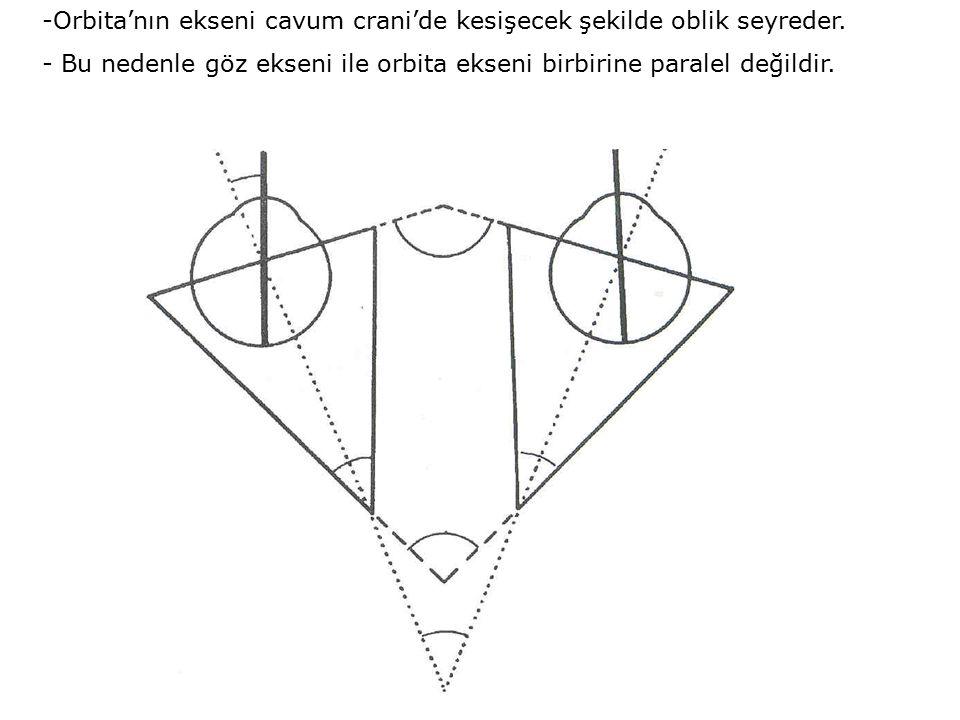 -Orbita'nın ekseni cavum crani'de kesişecek şekilde oblik seyreder. - Bu nedenle göz ekseni ile orbita ekseni birbirine paralel değildir.