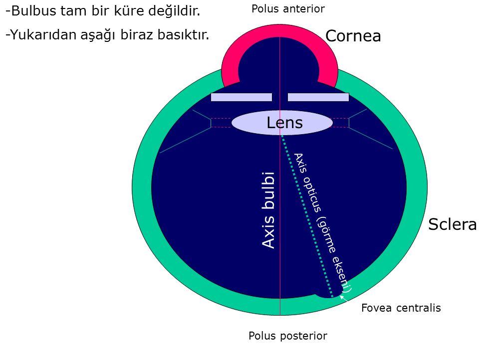 Polus anterior Polus posterior Axis bulbi Axis opticus (görme ekseni) Fovea centralis Cornea Sclera Lens -Bulbus tam bir küre değildir. -Yukarıdan aşa