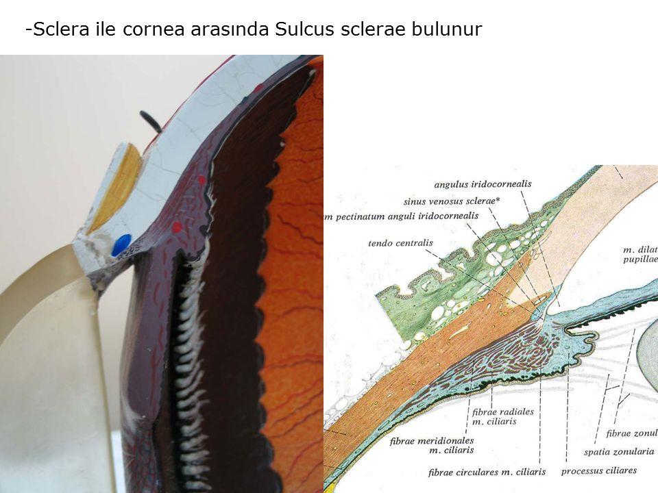 -Sclera ile cornea arasında Sulcus sclerae bulunur