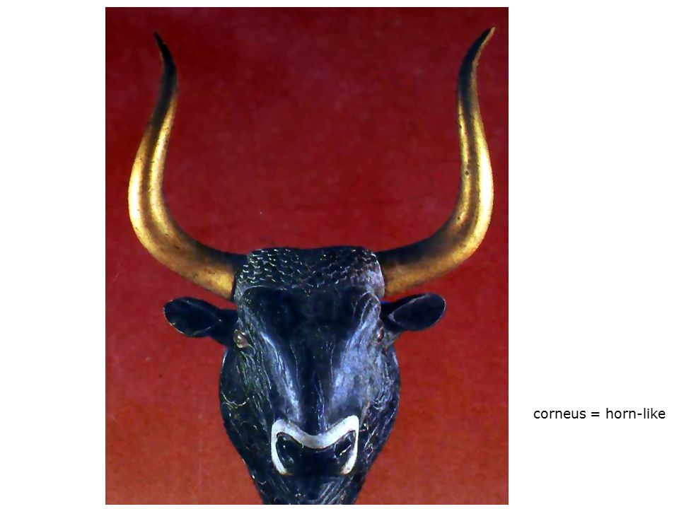 corneus = horn-like