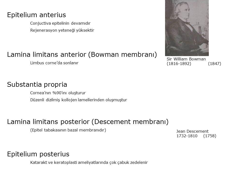 Epitelium anterius Conjuctiva epitelinin devamıdır Rejenerasyon yeteneği yüksektir Lamina limitans anterior (Bowman membranı) Limbus corne'da sonlanır