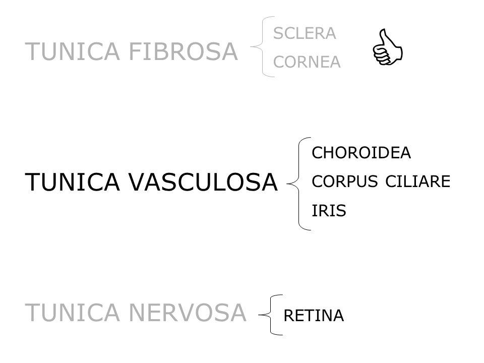 TUNICA FIBROSA TUNICA VASCULOSA TUNICA NERVOSA CHOROIDEA CORPUS CILIARE IRIS SCLERA CORNEA RETINA 