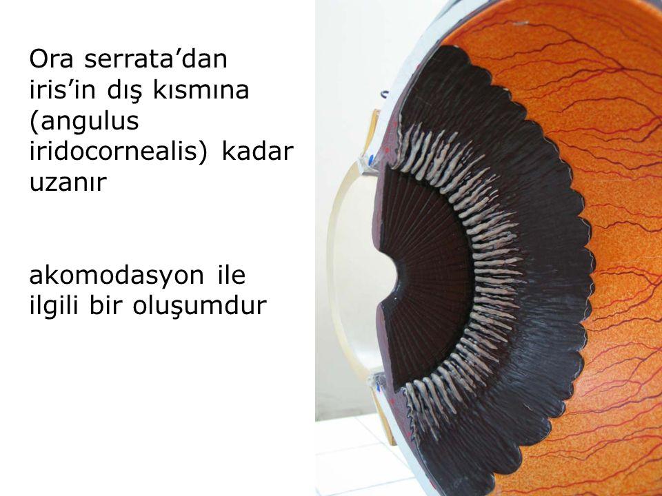 Ora serrata'dan iris'in dış kısmına (angulus iridocornealis) kadar uzanır akomodasyon ile ilgili bir oluşumdur