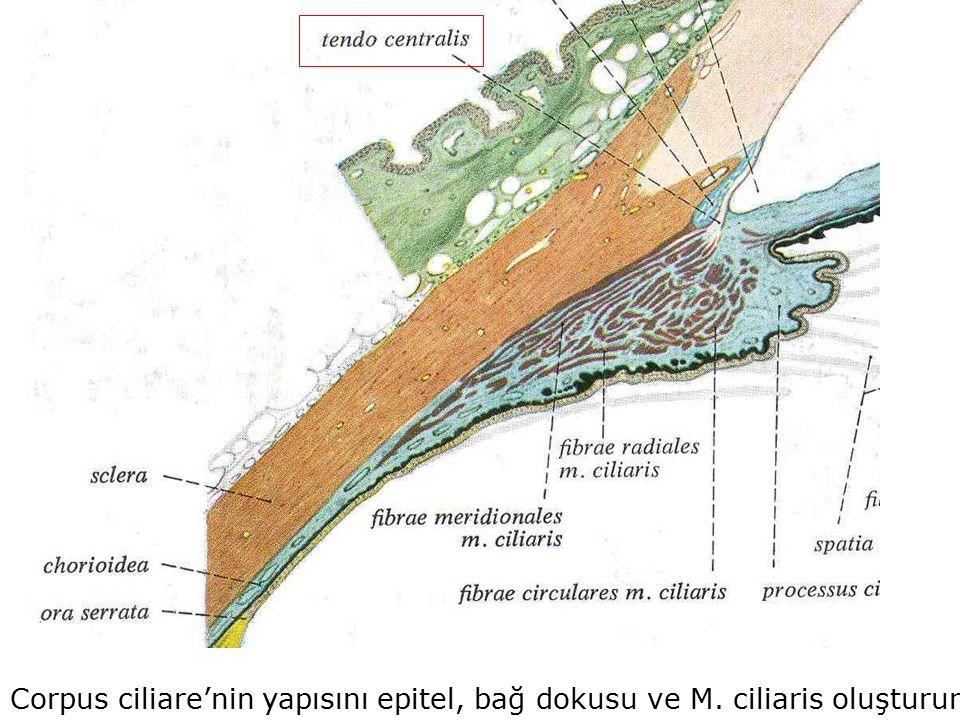 Corpus ciliare'nin yapısını epitel, bağ dokusu ve M. ciliaris oluşturur.