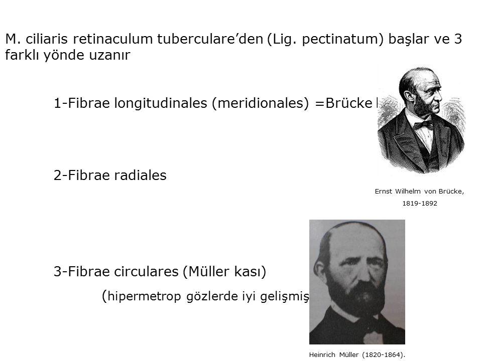 M. ciliaris retinaculum tuberculare'den (Lig. pectinatum) başlar ve 3 farklı yönde uzanır 1-Fibrae longitudinales (meridionales) =Brücke kası 2-Fibrae
